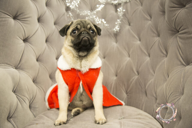 This pug made a uniquely-shaped chair her backdrop for a few photos we snapped a few weeks ago. -- Photo by Nichole Seitz